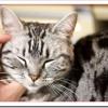 アメリカンショートヘアの値段や飼い方は?性格と子猫の柄や色は?